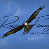Red Kite russellfinneyphotography (132)