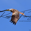 Red Kite russellfinneyphotography (150)