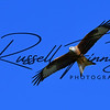 Red Kite russellfinneyphotography (48)