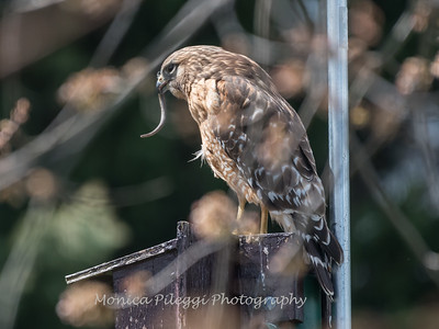 Red Shouldered Hawk w-Snake 4 April 2018-4961