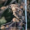 Red Shouldered Hawk w-Snake 4 April 2018-4961