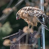 Red Shouldered Hawk w-Snake 4 April 2018-4938