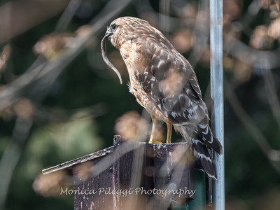 Red Shouldered Hawk w-Snake 4 April 2018-4957