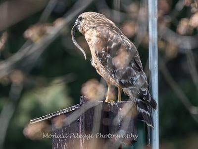 Red Shouldered Hawk w-Snake 4 April 2018-4957