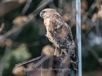 Red Shouldered Hawk w-Snake 4 April 2018-4966
