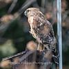 Red Shouldered Hawk w-Snake 4 April 2018-4966