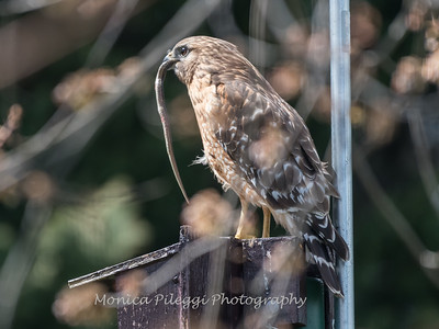 Red Shouldered Hawk w-Snake 4 April 2018-4954