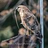 Red Shouldered Hawk w-Snake 4 April 2018-4954