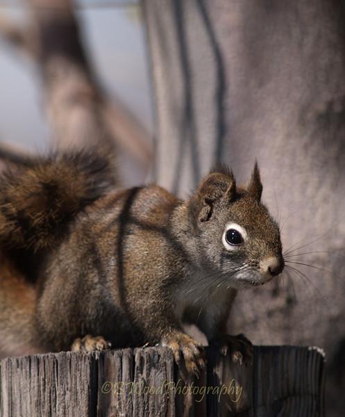 TH 09AP1555 <br /> <br /> Red Squirrel (Tamiasciurus hudsonicus)