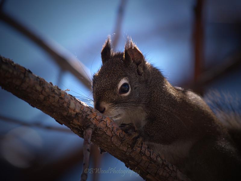 TH 09AP1527 <br /> <br /> Red Squirrel (Tamiasciurus hudsonicus)