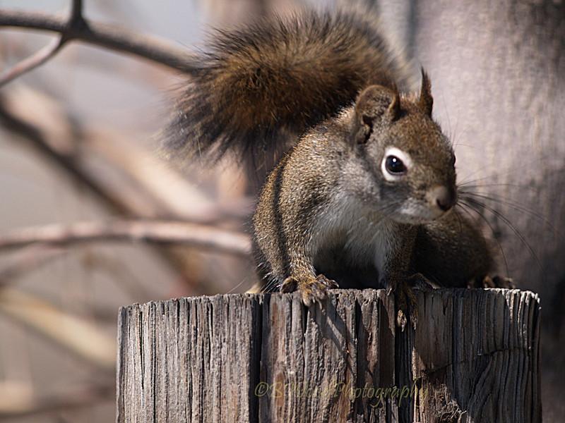 TH 09AP1545 <br /> <br /> Red Squirrel (Tamiasciurus hudsonicus)