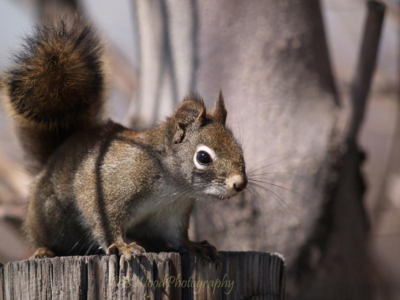 TH 09AP1550 <br /> <br /> Red Squirrel (Tamiasciurus hudsonicus)