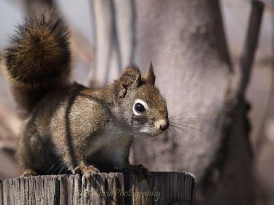 TH 09AP1550   Red Squirrel (Tamiasciurus hudsonicus)