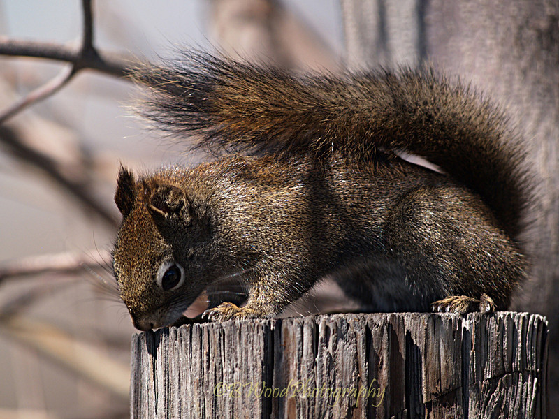 TH 09AP1547 <br /> <br /> Red Squirrel (Tamiasciurus hudsonicus)