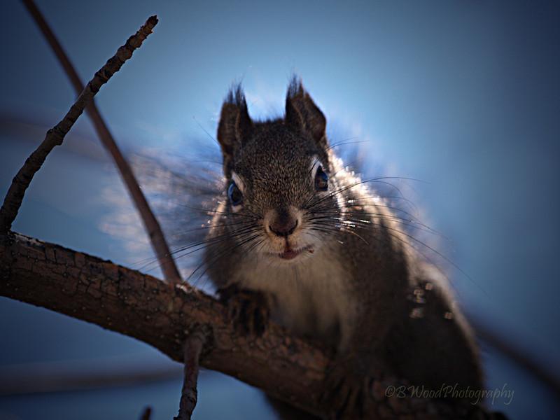 TH 09AP1532 <br /> <br /> Red Squirrel (Tamiasciurus hudsonicus)