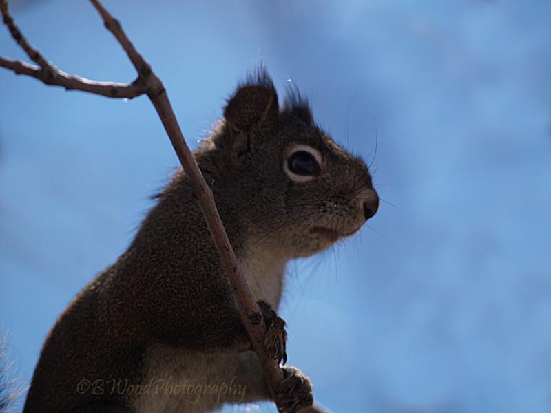 TH 09AP1536 <br /> <br /> Red Squirrel (Tamiasciurus hudsonicus)