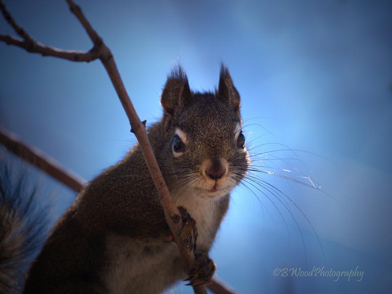 TH 09AP1538<br /> <br /> Red Squirrel (Tamiasciurus hudsonicus)