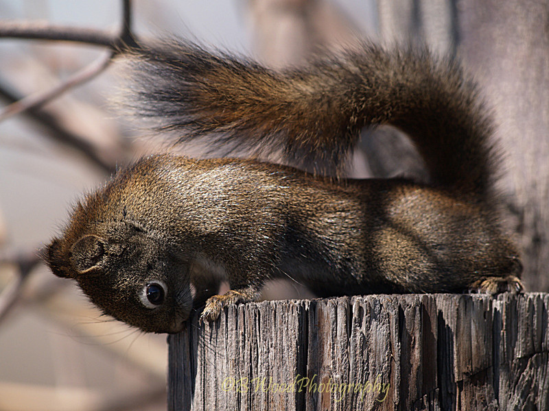 TH 09AP1549 <br /> <br /> Red Squirrel (Tamiasciurus hudsonicus).<br /> <br /> The specific epithet hudsonicus refers to Hudson Bay, Canada, where the species was first catalogued by Erxleben in 1771.