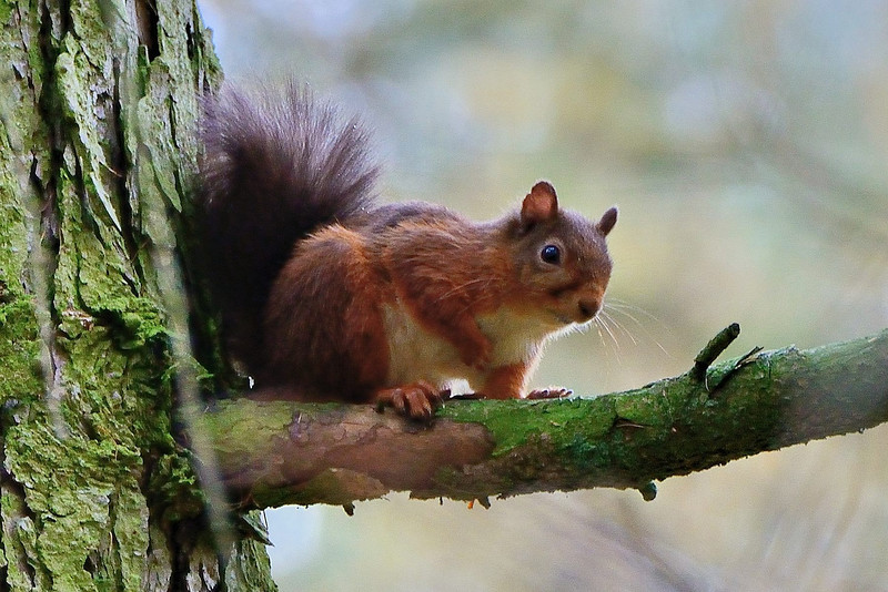 Red Squirrel (Sciurus vulgaris), high up a pine tree.  Ear tufts have been lost in the Autumn moulting.