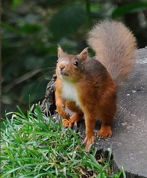 Red squirrel (Sciurus vulgaris), Cumbria.