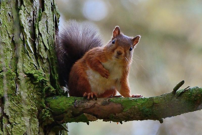 Red squirrel (Sciurus vulgaris), Cumbria.  A questioning look!