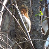 Video of a Red Squirrel chattering
