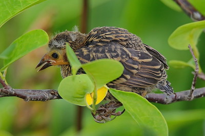 A Red Winged Blackbird fledgling