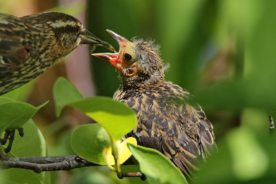 A female Red Winged Blackbird feeding one of its fledglings