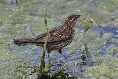 A female Red Winged Blackbird foraging for food for its chicks