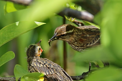 A female Red Winged Blackbird feeds one of its fledglings