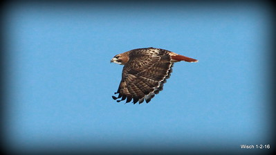 Red-tailed Hawk & Red Bellied Woodpecker