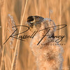 Reed Bunting russell finney photography (7)