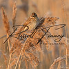 Reed Bunting russell finney photography (11)