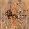 Reed Bunting russell finney photography (10)