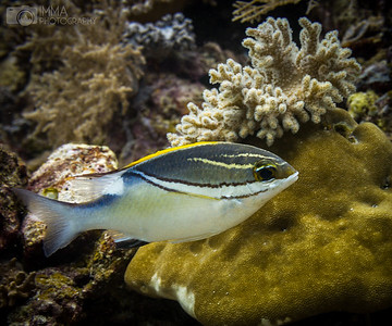 Bridled Monocle Bream (Scolopsis bilineata is a species of threadfin bream native to the Indian Ocean and the western Pacific Ocean