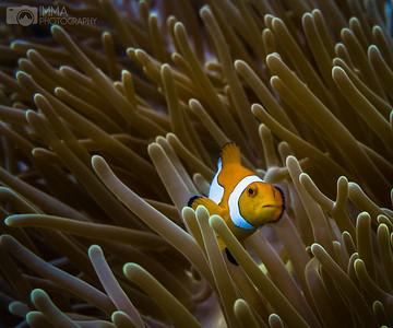 An Indonesian Nemo 1