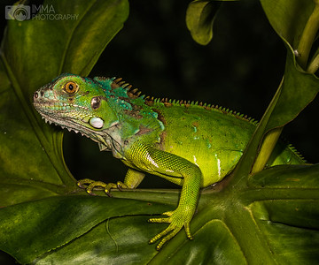 Green, Green, My Iguana Is Green