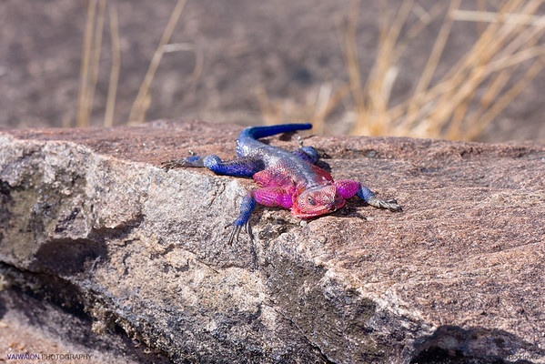 With its bright colors, is easy to understand why this reptile is commonly called spiderman lizard. Maasai Mara.