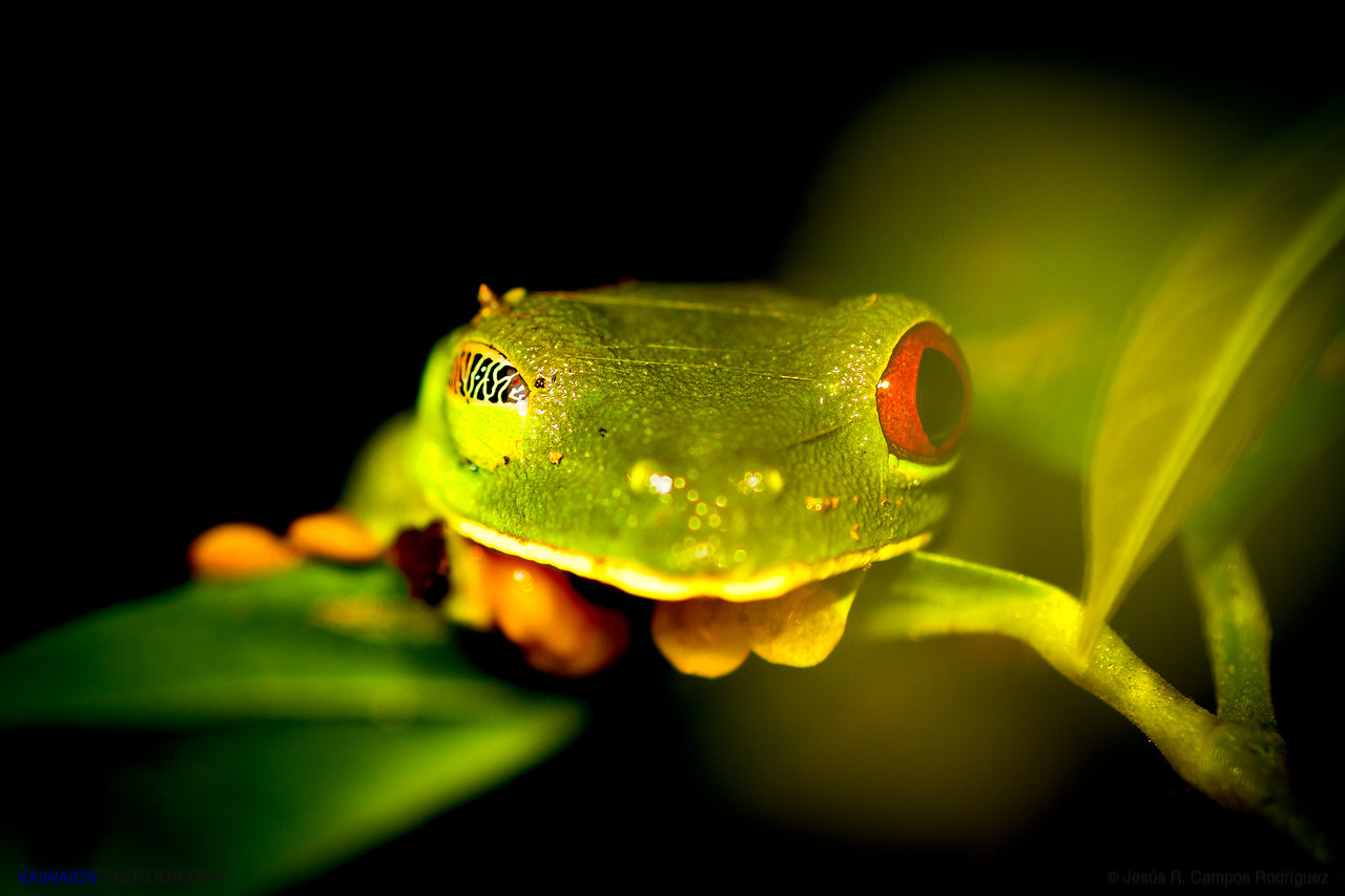 Winking gliding frog.<br /> <br /> This friendly Central American amphibian is one of the most popular in the world, and a tourism icon for Costa Rica.<br /> It is the gliding tree frog (Agalychnis spurrelli). Like its relative the red-eyed tree frog (Agalychnis callidryas), it is notable for its vivid colors, but these are species whose skin is not particularly poisonous. The purpose of their striking colors is to confuse predators. These frogs are mostly nocturnal and of arboreal habits.<br /> <br /> The photograph corresponds to a wild specimen, taken at night in the jungle of Corcovado, in Costa Rica.