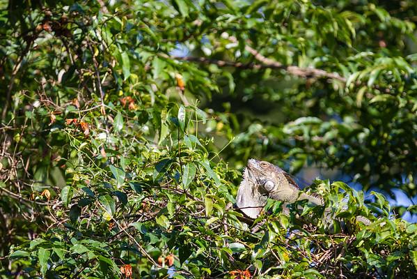 Green Iguana. Tortuguero National Park. Costa Rica.