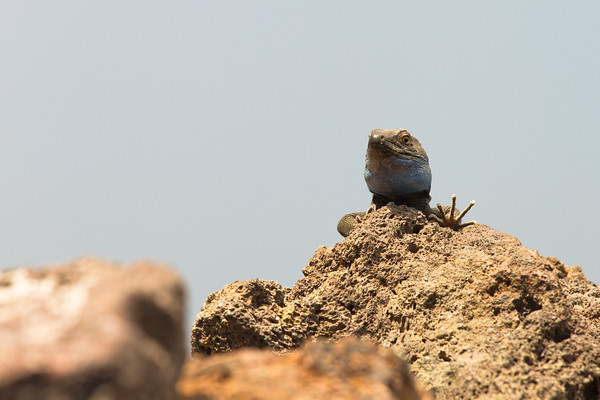 Hey!, I'm looking at you!. Male Western Canaries Lizard. La Palma island, Canary Islands. Spain.