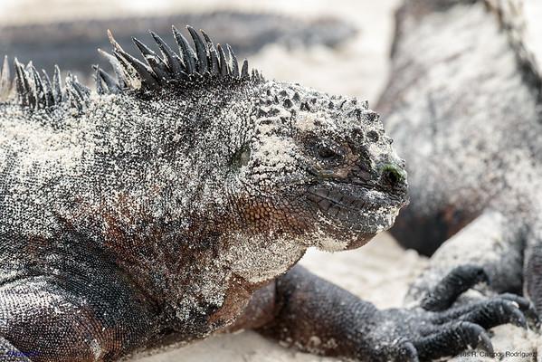 Marine Iguana(Amblyrhynchus cristatus)