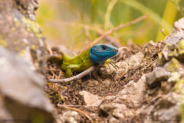 Male Iberian emerald lizard. One of the most beautiful lizards from the Iberian Peninsula. This photo was taken in full mating season of this species, when males present their most vivid colors. Las Villuercas, Cáceres. Extremadura (Spain).