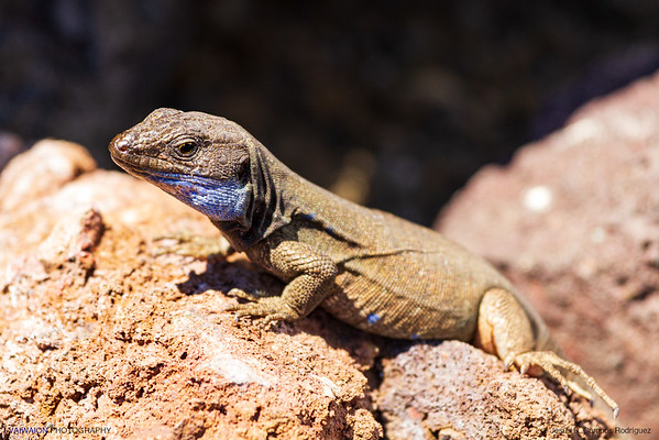 Male Western Canaries Lizard. This is a popular species endemic to these islands. La Palma island, Canary Islands. Spain.