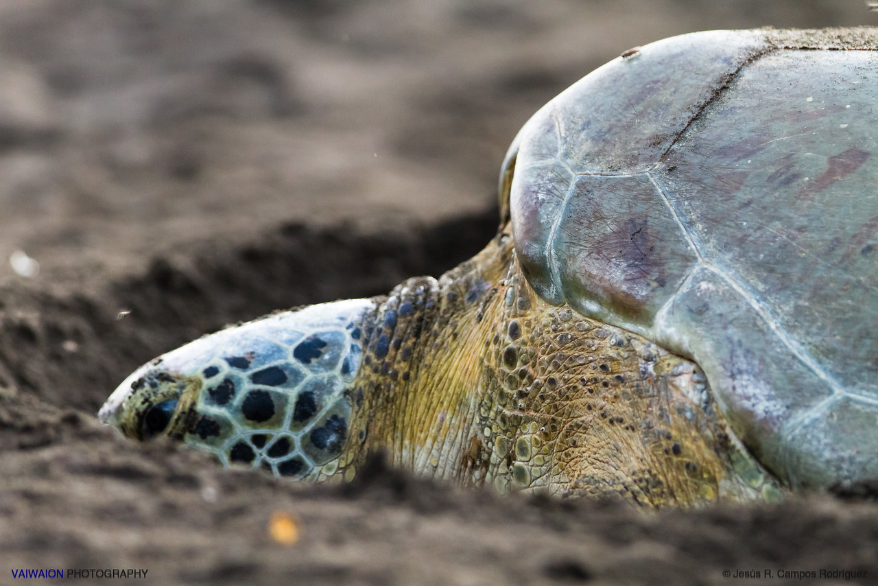 "Green sea turtle. Tortuguero National Park. Costa Rica.  This green sea turtle <span style=""font-style: italic"">(Chelonia mydas)</span> is in trance, at at the final stage of its phase of egg laying, at the light of dawn, on the Caribbean beaches of Tortuguero, in Costa Rica. During the egg laying, the mother is in a state of trance, highly vulnerable and defenseless. A female of this species can lay 100 to 200 eggs in a single night. These are buried into the sand on the beach, and are soaked by various nutritious substances which protect the eggs and the offspring against pathogens.  Note: These photographs were taken by permission and without using flash or any artificial light, and under the supervision and guidance of a specialized biologist of Tortuguero National Park."