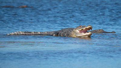 Alligator 09
