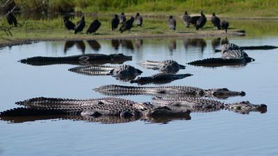 Alligator 16