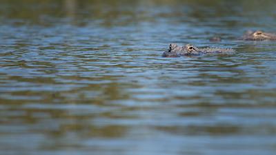 Alligator 21