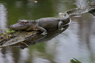 Alligator 13
