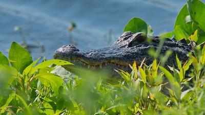 Alligator 04